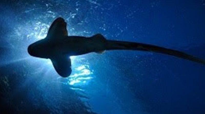 Bilim insanları, Yeni Zelanda'da ışık saçan dev köpek balığı tespit etti